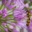 Zweefvlieg op Allium