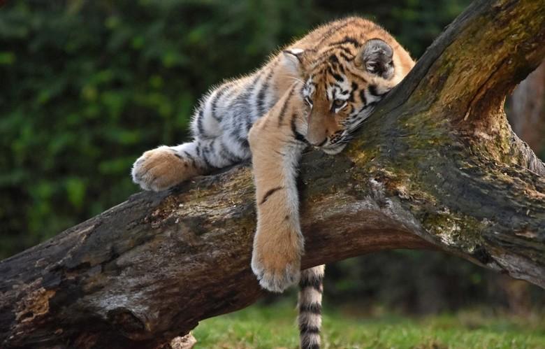 Ontspannen - Het tijgertje lag er ontspannen bij.