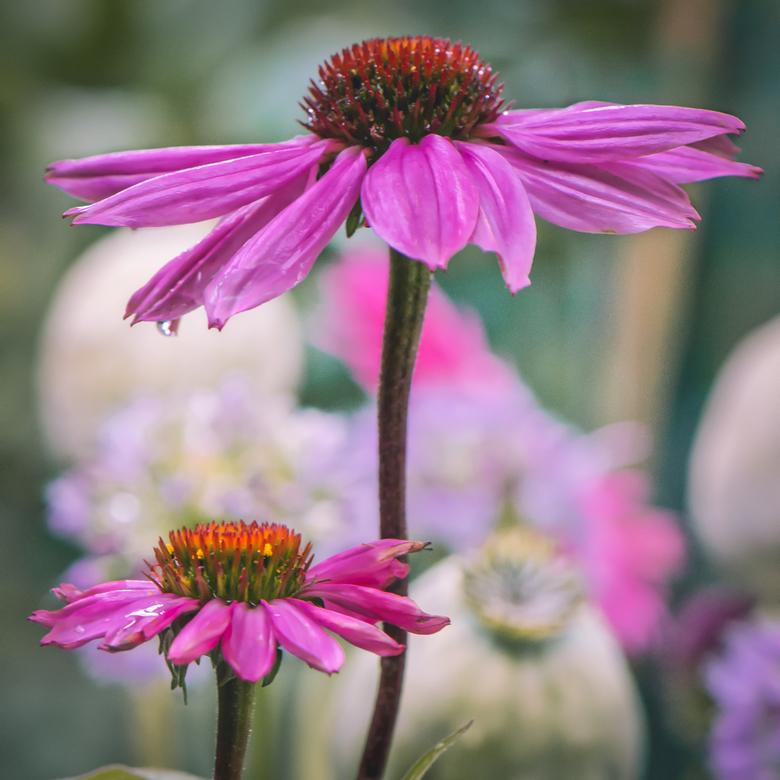Zonnehoedje - Echinacea<br /> Prachtige bloem