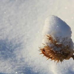 Doornappel in de sneeuw