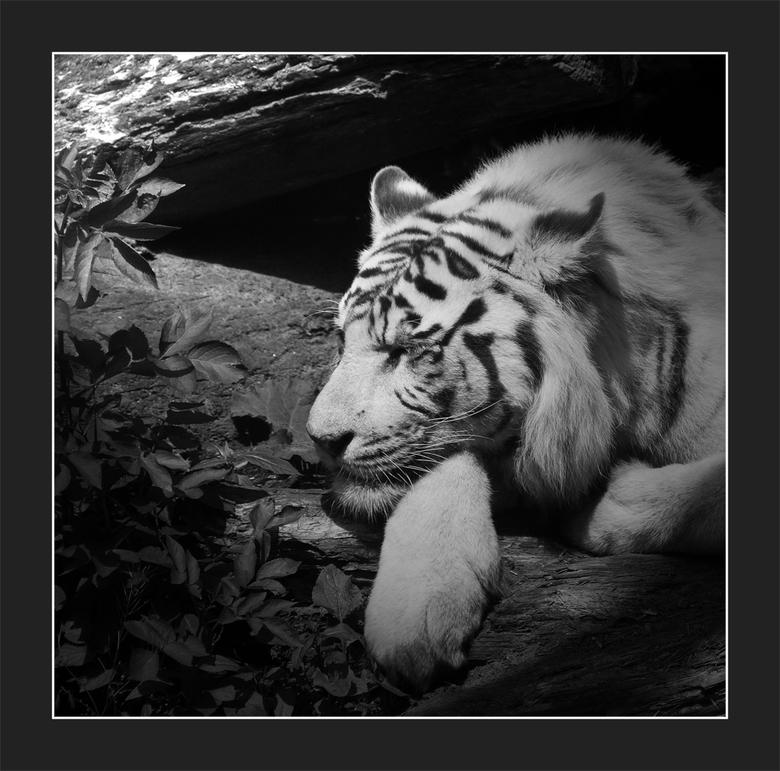 """Tijgert - Net niet lekker scherp,  maar blijft een prachtig beest, deze witte tijger. Kwam &#039;m gister tegen in Dierenpark Amersfoort <img  src=""""/i"""