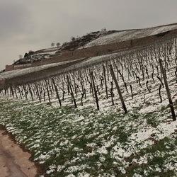 Wijnvelden.