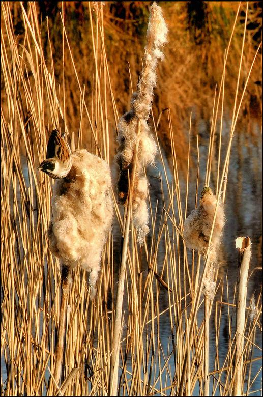 Woudbloem 10 - dank voor de reacties op de Scholekstertjes.<br /> Een geluk dat dit vogeltje erg druk was met het verzamelen van nestmateriaal. Met m