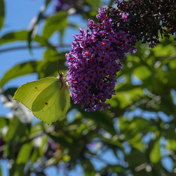 Vlinderlokker