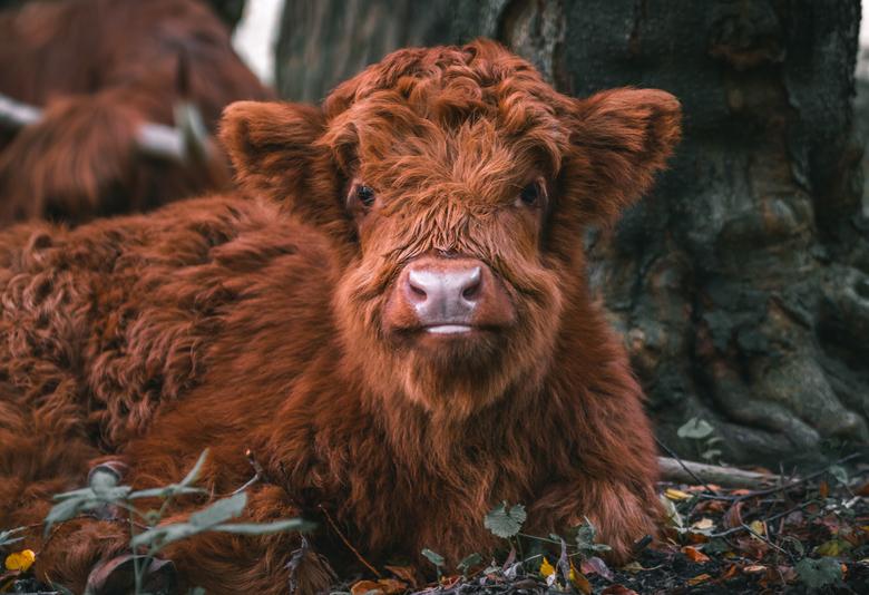 Fluffy baby Schotse Hooglander  - Deze knapperd lag lekker van het weer te genieten op zijn eiland (Eiland van Brienenoord). Deze beestjes blijven zo
