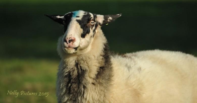 Ik zeg ... - &quot; Be-e-e-e-e-e-e&quot;<br /> <br /> Deze dame behoort tot een oud Nederlands schapenras. <br /> <br /> Het Drents heideschaap.<b