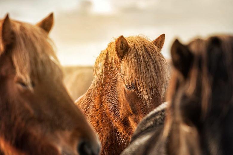 Ijslanders - Een van de hoogtepunten van mijn reis naar IJsland. De vele IJslandse paarden die we gezien hebben en de prachtige luchten die we hebben