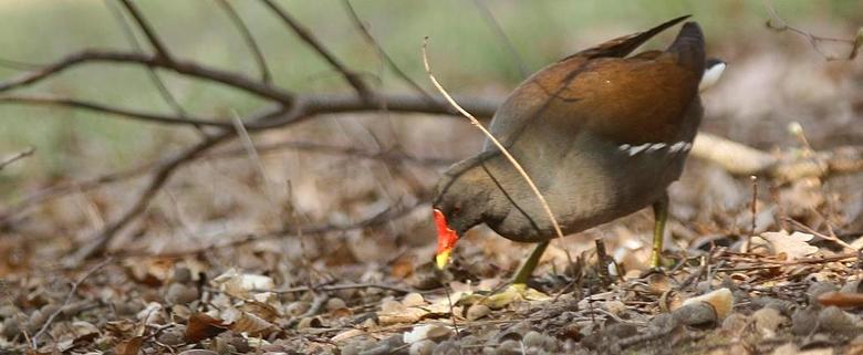 Waterhoen - Het waterhoen is een algemene broedvogel in Nederland. Opvallend is zijn rode snavel met gele punt. Tijdens het zwemmen of lopen is zijn s