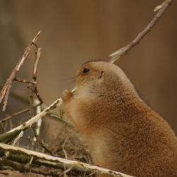Prairiehond in Emmen