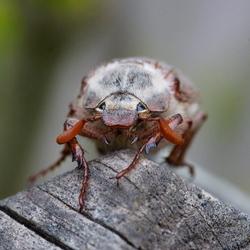 close up van een meikever