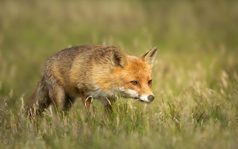Speurende vos - Deze vos had duidelijk in zijn vizier, de concentratie was zo mooi in zijn ogen af te lezen.