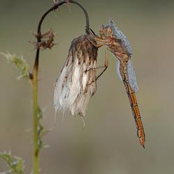 Beekoeverlibel 2 (vrouwtje)