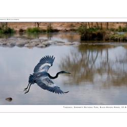 Black-Headed Heron I
