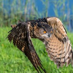 oehoe,vogeldemonstratie avifauna