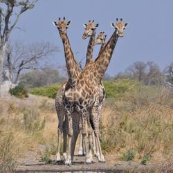 4 koppige giraffe