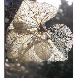 Hortensia in de winterzon