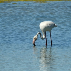 Flamingo.....