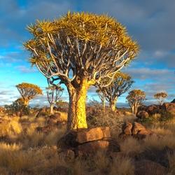 Kokerbomen in de ochtend zon