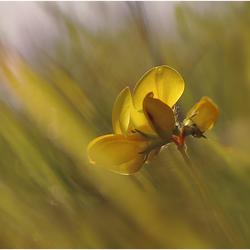 Lotus........