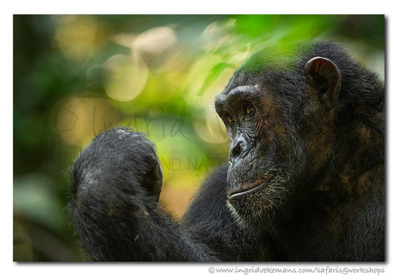 We Are Family - Het opsporen en volgen van de chimpansees in Mahale was heel confronterend. De chimpanzees vertoonden gedrag dat me deed denken aan hu