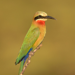White Fronted-Bee-eater