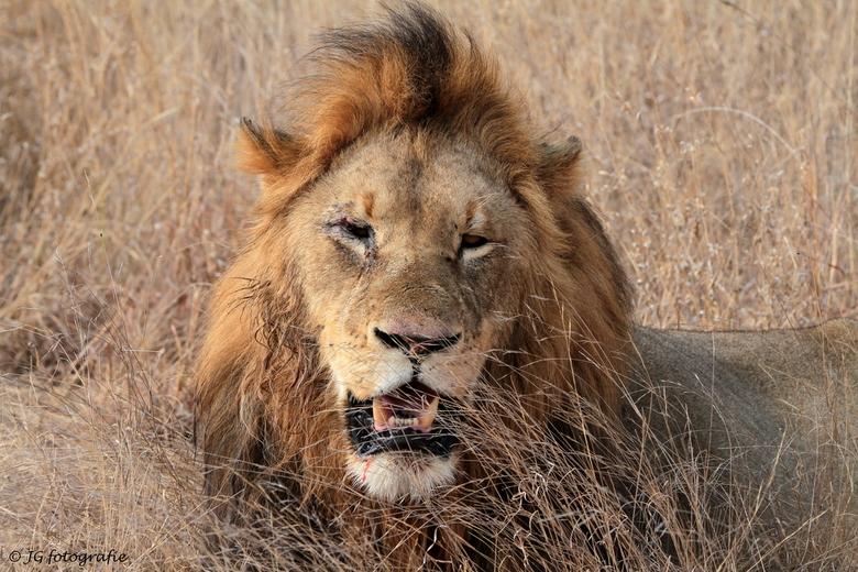 Old Lion - Oude leeuw aan het rusten na een gevecht in het Krugerpark