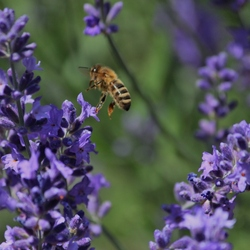 bij landt op lavendel.JPG