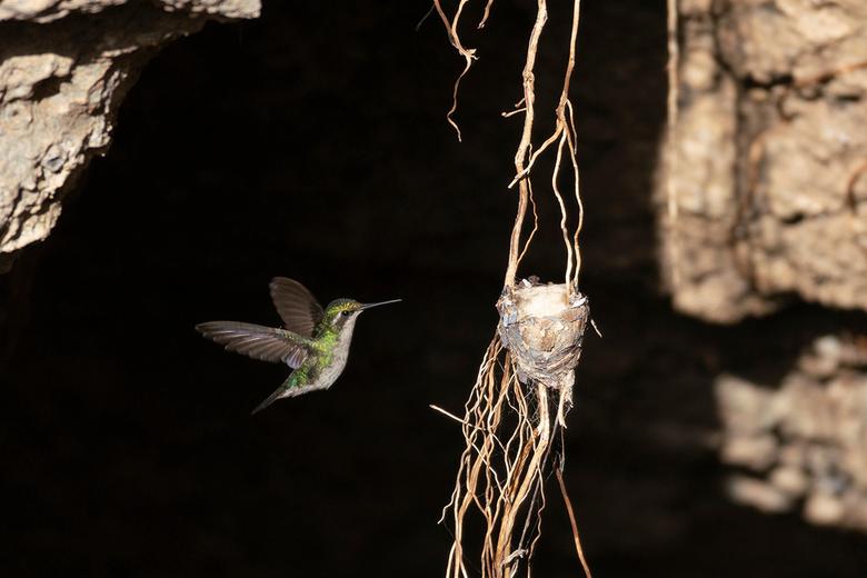 Aanvliegende Kolibrie - 2 dagen nadat ik de vogel op het nest had gespot, moest er gevoed worden
