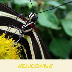 Heliconius