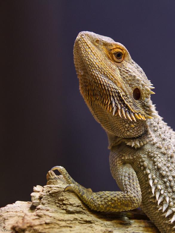 Pogona vitticeps - ...Ook wel Baardagaam.<br /> <br /> Vandaag de dierentuin (Dierenpark Amersfoort) bezocht om nog ff wat dingen te proberen met de