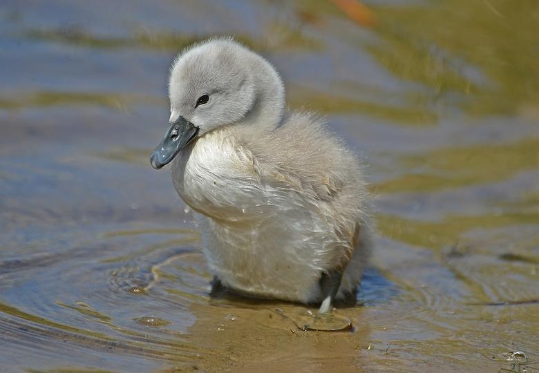 Een van de negen stuks. - Negen jonge zwaantjes, leven er nog.<br /> De witte weduwe zag ik ook nog met haar drie kleintjes.<br /> <br /> Iedereen