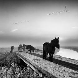 Paarden in z/w