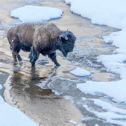 Bison crossing brook