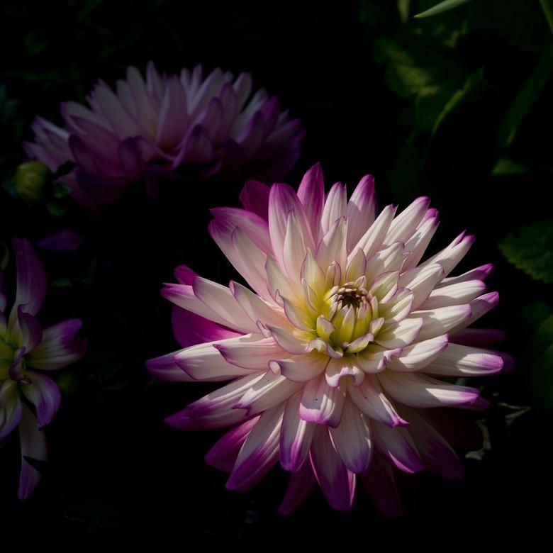 Spotlight.JPG - Een klein straaltje zon, schaduw en een prachtige bloem