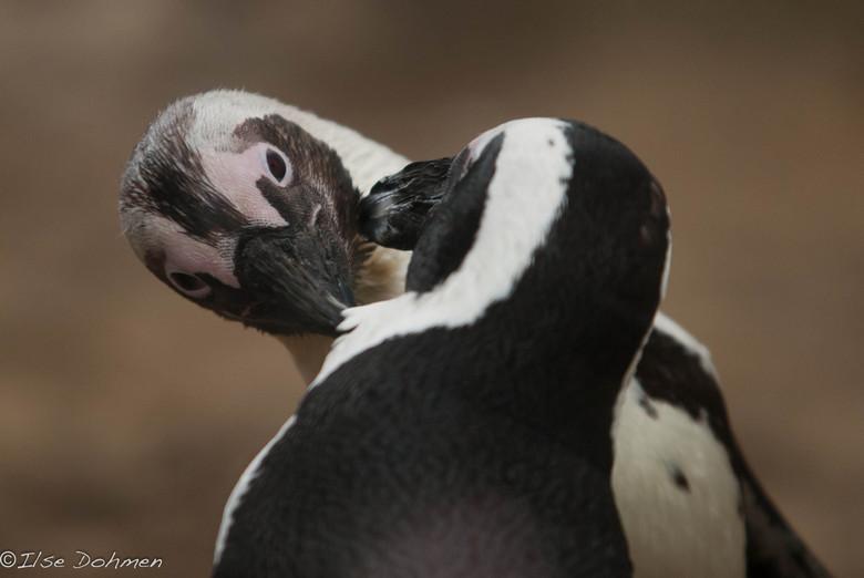 Yin & Yang - Zwartvoet pinguins die elkaar lief vinden.