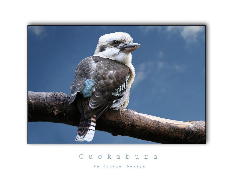 Cuckabura - Deze prachtige vogel had ik nog nooit gezien en Michel (beter bekend als Blokman hier op Zoom.nl) maakte mij erop attend. Ik vind het een