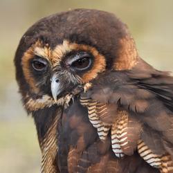 Portrait: Owl
