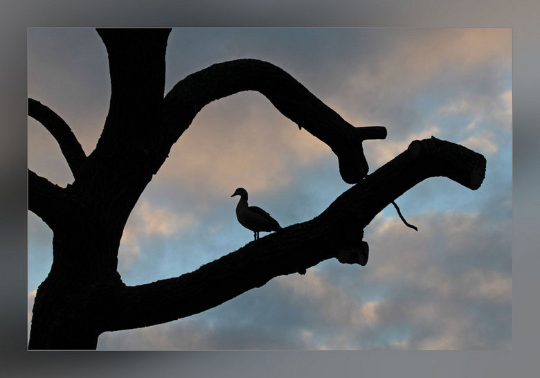 Uitkijkpost - Een boom die helemaal ontdaan is van zijn takken, wordt steeds als uitkijkpost door de nijlganzen gebruikt.