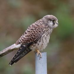 torenvalk ( vrouwtje )