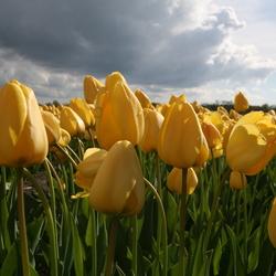 Tulpenbollen Lisse