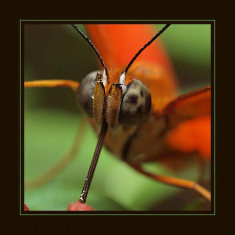 Vlinderkoppie - Gisteren de macroworkshop gehad in de vlindertuin 'Tropical Zoo' De Berkenhof in Kwaddendamme. De workshop gegeven door marc