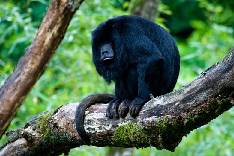 Howler Monkey - Deze brulaap had net een dutje gedaan voor hij lekker ging zitten op een bemoste tak.