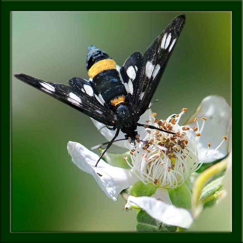 phegea vlinder - De phegea vlinder komt in deze tijd van het jaar veelvuldig voor in het Leudal in Midden-Limburg.<br /> Deze zat fraai op de bloem v