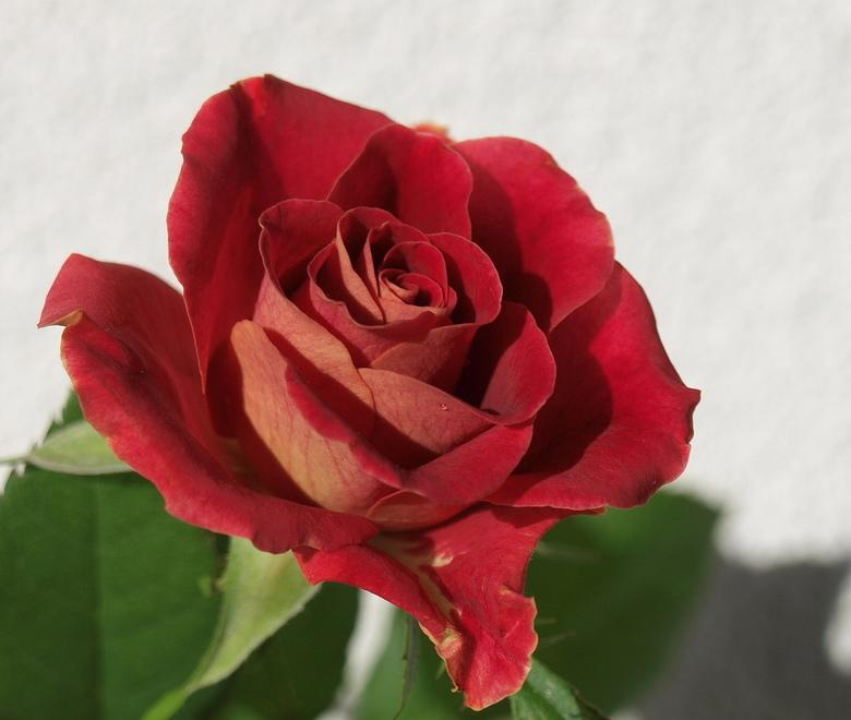 Valentijn - Ter gelegenheid van Valentijn een rode roos ge-upload.