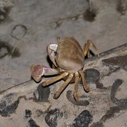 Krab op trap in restaurant  - Bali (Lovina)