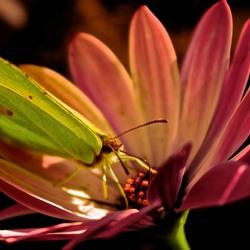 Vlindertje op Bloem