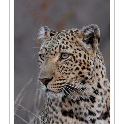 Luipaard Zd Afrika