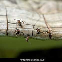 Mieren als elfjes