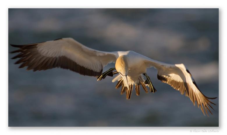Cape Gannet - Jan van Gent (Cape Gannet) in volle vlucht.