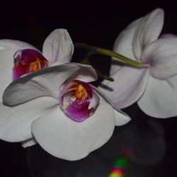 Trosje orchideeën